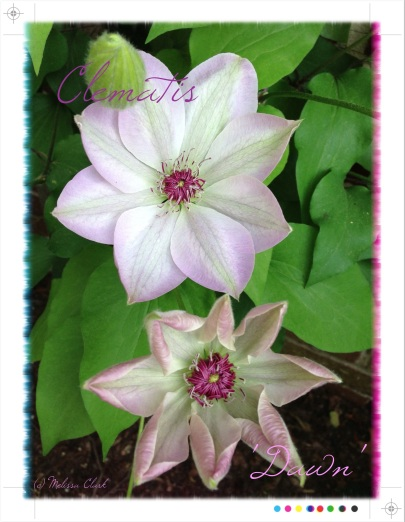 iPhone photos, Clematis 'Dawn,' Camera+, Over app