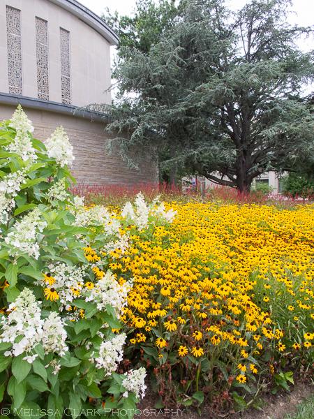 American University arboretum, summer, Hydrangea Pinky Winky
