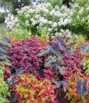 American University arboretum, summer annuals