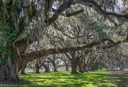 Tomotley Plantation, Charleston, live oaks