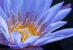 Longwood Gardens, water lily