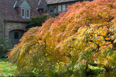 An enormous dissected Japanese maple in front of a house in northwest DC.
