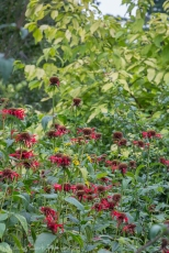Bee balm (monarda) and Cornus sericaea 'Sunshine'