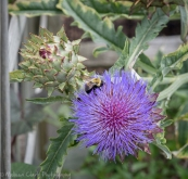 Bees enjoying the thistles near the vegetable garden.