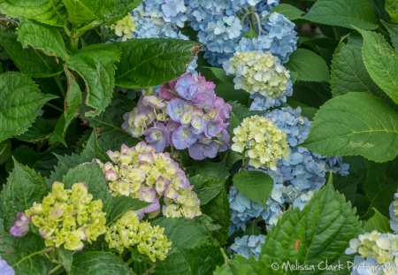 'Blue Danube' is on the left, with 'All Summer Beauty' on the right. The latter's flowerheads have smaller flowers and in my experience are less likely to color pink in my soil.