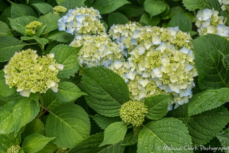 Hydrangea 'All Summer Beauty,'
