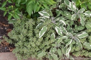 Thyme and variegated sage