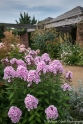 Phlox in the courtyard - no mildew in sight!