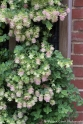 Oregano 'Kent's Beauty' is one of three types of oregano on a vertical 'trellis' in one of the walled areas.