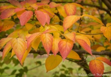 Foliage on a dogwood tree between the Center and the Mansion
