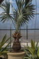 A Bismarck palm in the Tropical Greenhouse