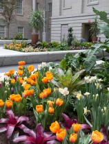 A lush planting of tulips and daffodils earlier this spring in the Kogod Courtyard.